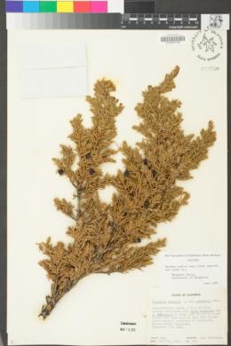 Juniperus communis var. montana image