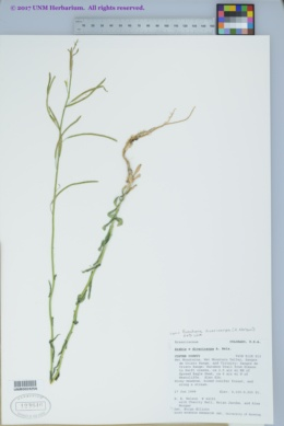 Image of Arabis x divaricarpa