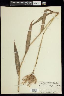 Image of Ischaemum latifolium