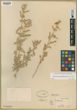 Sphaeralcea angustifolia image