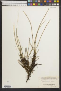 Equisetum variegatum image