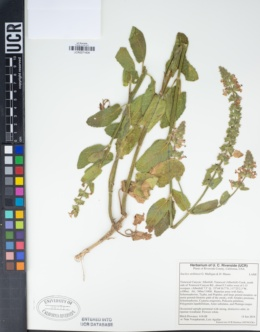 Image of Stachys stebbinsii
