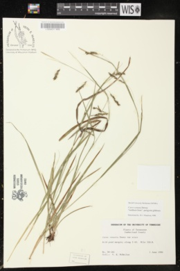Carex venusta image