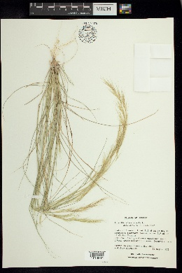 Aristida adscensionis image