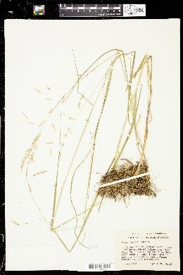 Melica geyeri image