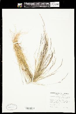 Aristida basiramea image