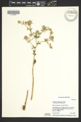 Image of Eryngium articulatum