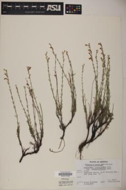 Penstemon linarioides subsp. compactifolius image