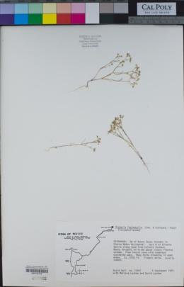 Drymaria leptophylla image