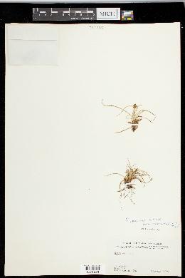 Carex micropoda image