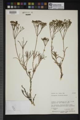 Eriogonum viridulum image
