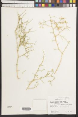 Image of Fagonia chilensis