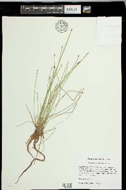 Eleocharis engelmannii image