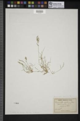Eragrostis hypnoides image