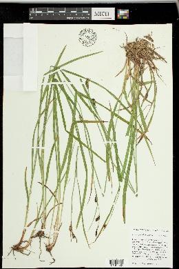 Carex spectabilis image