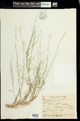 Muhlenbergia polycaulis image