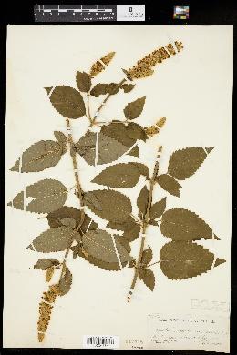 Agastache scrophulariifolia image