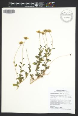 Encelia resinifera subsp. resinifera image