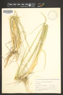 Sporobolus giganteus image