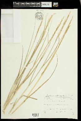Spartina alterniflora image