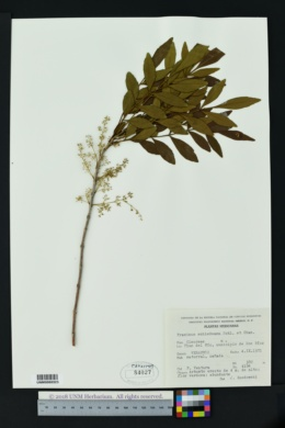 Image of Fraxinus schiedeana