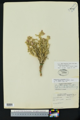 Image of Sphaeralcea pedata