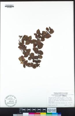 Arctostaphylos cruzensis image