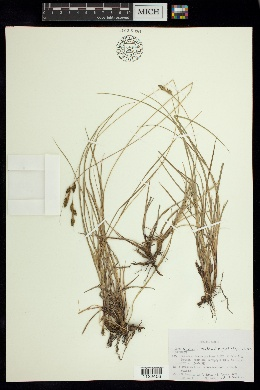 Image of Carex boliviensis