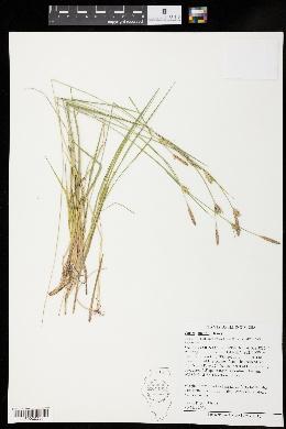 Carex meadii image