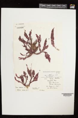 Heterosiphonia muelleri image