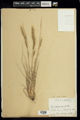 Image of Muhlenbergia quadridentata