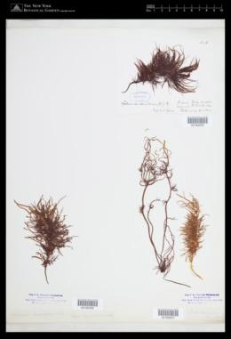 Halosaccion ramentaceum image