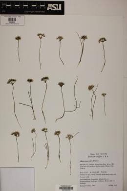 Image of Allium macrum