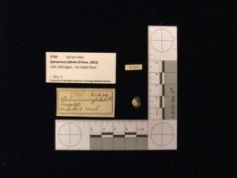 Sphaerium fabale image