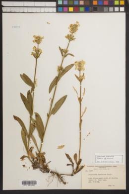 Image of Penstemon confertus