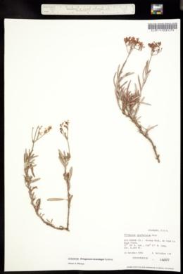 Image of Eriogonum brandegei