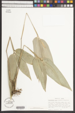 Image of Maclurolyra tecta