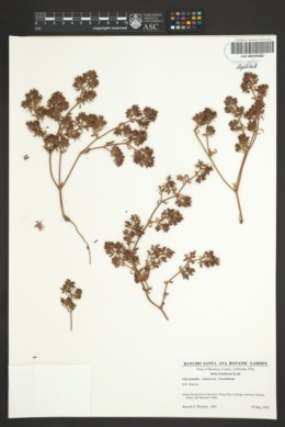 Image of Chorizanthe ventricosa