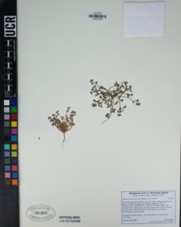 Image of Phacelia inyoensis