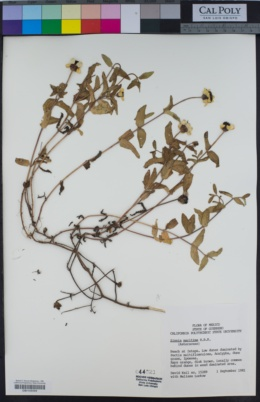 Image of Zinnia maritima