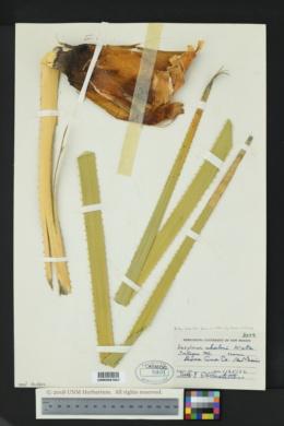 Dasylirion wheeleri image