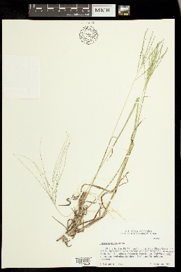 Image of Digitaria texana