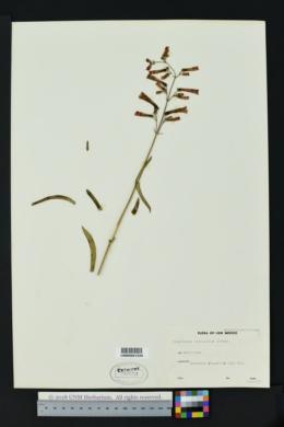 Penstemon subulatus image