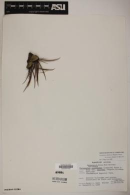 Ferocactus acanthodes var. lecontei image