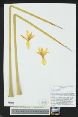 Yucca elata image