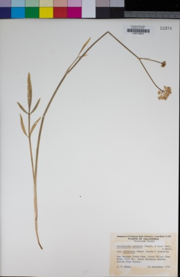 Perideridia parishii subsp. latifolia image