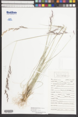 Nassella brachyphylla image