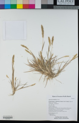 Image of Agrostis densiflora