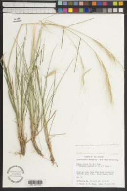 Image of Elymus scabrus