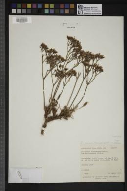 Image of Eriogonum thompsonae